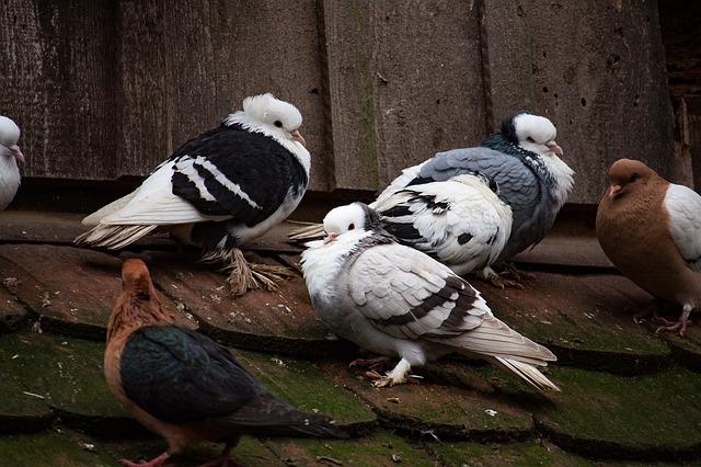 holubi na střeše