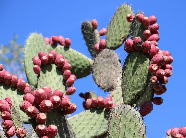 Kaktus Nopal